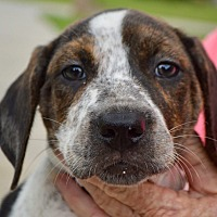 Adopt A Pet :: Lady-ADOPTED - Springfield, MA