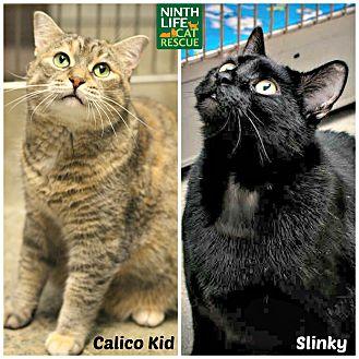 Domestic Shorthair Cat for adoption in Oakville, Ontario - Calico Kid & Slinky