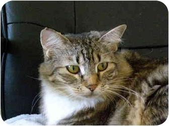 Maine Coon Cat for adoption in Davis, California - Pollyanna