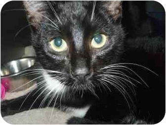 Domestic Shorthair Cat for adoption in Barrie, Ontario - Trouble