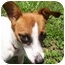 Photo 1 - Jack Russell Terrier Mix Dog for adoption in Terra Ceia, Florida - ITSY BITSY