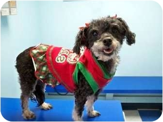 Poodle (Toy or Tea Cup) Mix Dog for adoption in Los Angeles, California - LILI