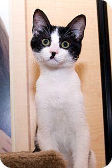 Domestic Shorthair Kitten for adoption in Irvine, California - Casey
