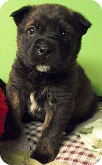 Boxer/German Shepherd Dog Mix Puppy for adoption in Struthers, Ohio - Bud