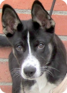 Husky Mix Puppy for adoption in Los Angeles, California - Amelia *VIDEO*