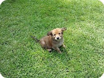 Golden Retriever/Labrador Retriever Mix Puppy for adoption in Groton, Massachusetts - Sugar Bear