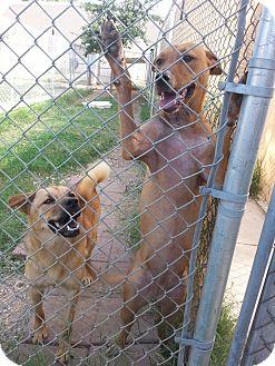 Carolina Dog/Hound (Unknown Type) Mix Dog for adoption in San Antonio, Texas - Blaire