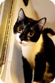 Domestic Shorthair Cat for adoption in Fort Smith, Arkansas - Abbey