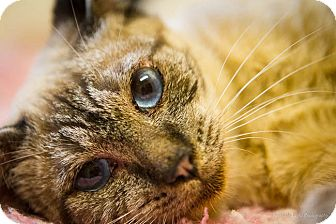 Siamese Cat for adoption in Bulverde, Texas - Cherry