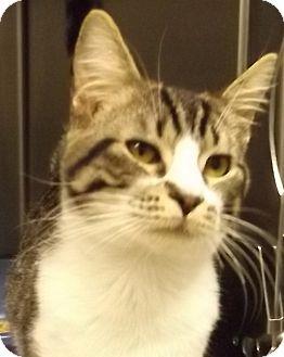 Domestic Shorthair Cat for adoption in Grants Pass, Oregon - Austin