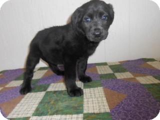 Labrador Retriever Mix Puppy for adoption in East Hartford, Connecticut - Melanie-pending adoption