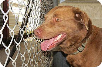 Labrador Retriever/Shepherd (Unknown Type) Mix Dog for adoption in Henderson, North Carolina - Coco