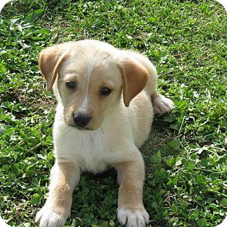 Labrador Retriever Mix Puppy for adoption in berwick, Maine - Herschel