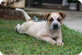 Australian Cattle Dog/Blue Heeler Mix Puppy for adoption in Middletown, Rhode Island - Clyde