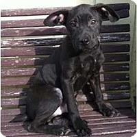 Adopt A Pet :: Coal - Seattle, WA