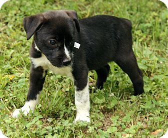 Border Collie/Boxer Mix Puppy for adoption in Allentown, Pennsylvania - Quinn