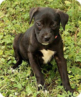 Boxer/Labrador Retriever Mix Puppy for adoption in Spring Valley, New York - Cait