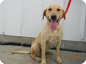 Labrador Retriever/Labrador Retriever Mix Dog for adoption in Chester, Illinois - Nila