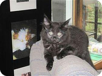 Domestic Mediumhair Kitten for adoption in Rocklin, California - Cirrus