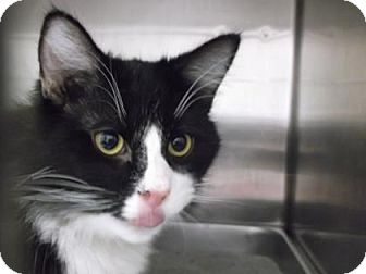 Domestic Longhair Cat for adoption in Gloucester, Virginia - CONSTANTINE