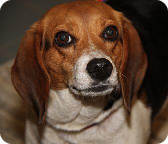Beagle Mix Dog for adoption in Marietta, Ohio - Daisy (Spayed)