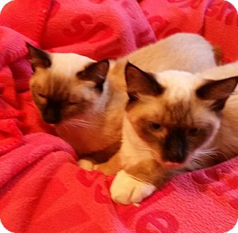 Siamese Cat for adoption in Colmar, Pennsylvania - Lito -Adoption Pending!