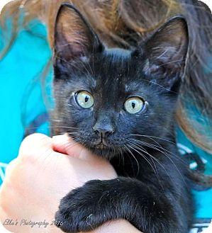 Domestic Shorthair Kitten for adoption in Rocklin, California - Squib