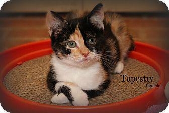 Domestic Shorthair Kitten for adoption in Glen Mills, Pennsylvania - Tapestry