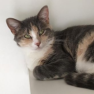 Domestic Shorthair Cat for adoption in Columbia, Illinois - Katniss