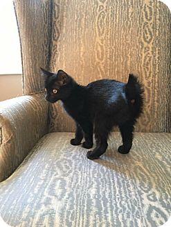 Manx Kitten for adoption in Simpsonville, South Carolina - Raven