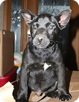 Labrador Retriever/Rat Terrier Mix Puppy for adoption in Brattleboro, Vermont - Willie Nelson