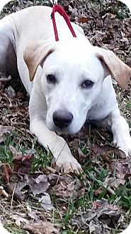 Labrador Retriever/Mixed Breed (Large) Mix Puppy for adoption in Woodstock, Georgia - Blondie