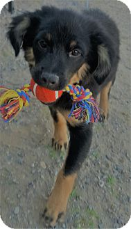 Mixed Breed (Medium)/Mixed Breed (Medium) Mix Puppy for adoption in Las Cruces, New Mexico - Karisma