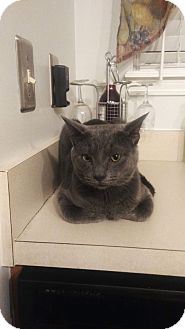 Russian Blue Cat for adoption in Indianapolis, Indiana - Nibbles