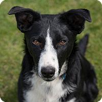 Adopt A Pet :: Macy - Westfield, NY