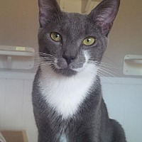 Adopt A Pet :: Brodie Lap Cat - Norwalk, CT