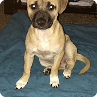 Bulldog/Pug Mix Puppy for adoption in KITTERY, Maine - MORGAN AND JASMINE