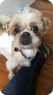 Shih Tzu/Bichon Frise Mix Dog for adoption in Perry, New York - Prada