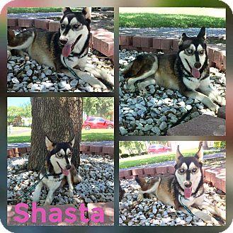 Siberian Husky Dog for adoption in Mesa, Arizona - SHASTA