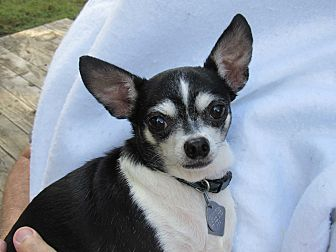 Chihuahua Mix Dog for adoption in Dallas, Texas - Katy