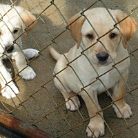 Adopt A Pet :: CHEDDAR - Williston Park, NY