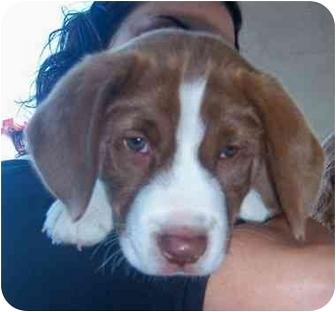 Treeing Walker Coonhound/Labrador Retriever Mix Puppy for adoption in Jacksonville, North Carolina - Gabe