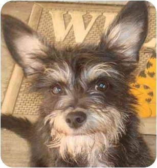 Terrier (Unknown Type, Small) Mix Puppy for adoption in Nuevo, California - Rocky-ADOPTED!