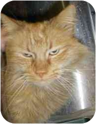 Domestic Mediumhair Cat for adoption in Strathmore, Alberta - Tigger