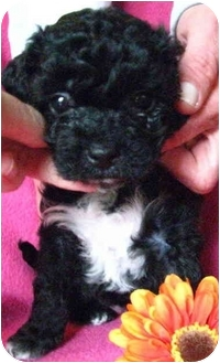 Poodle (Miniature)/Cockapoo Mix Puppy for adoption in Irvine, California - Britney