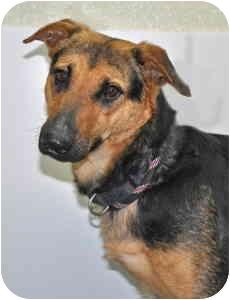 Shepherd (Unknown Type) Mix Dog for adoption in Port Washington, New York - Mandy