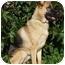 Photo 3 - German Shepherd Dog Dog for adoption in Los Angeles, California - Leilani von Graulich