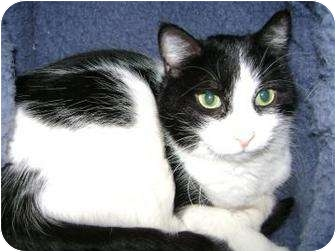 Domestic Shorthair Cat for adoption in Munster, Indiana - Sophie