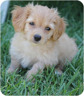 Bichon Frise Mix Puppy for adoption in La Costa, California - Olivia