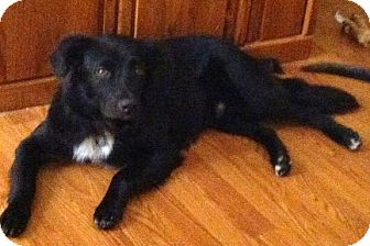 Border Collie/Australian Shepherd Mix Dog for adoption in Baton Rouge, Louisiana - Charlie